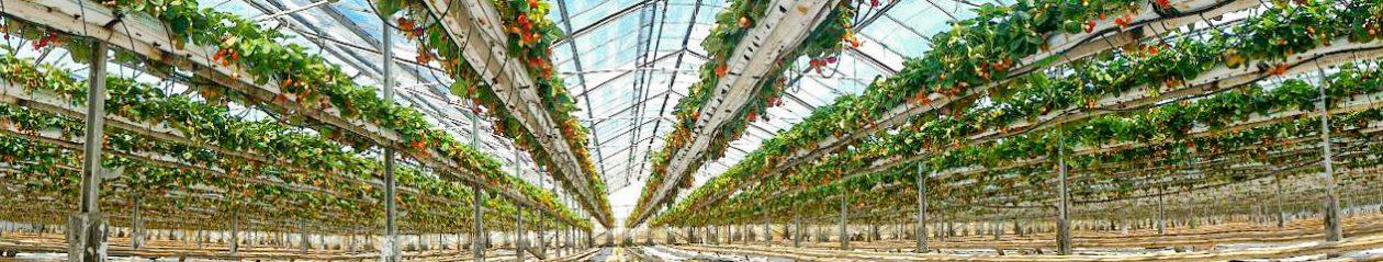 Erdbeeren Großhandel · TOP-PLANT