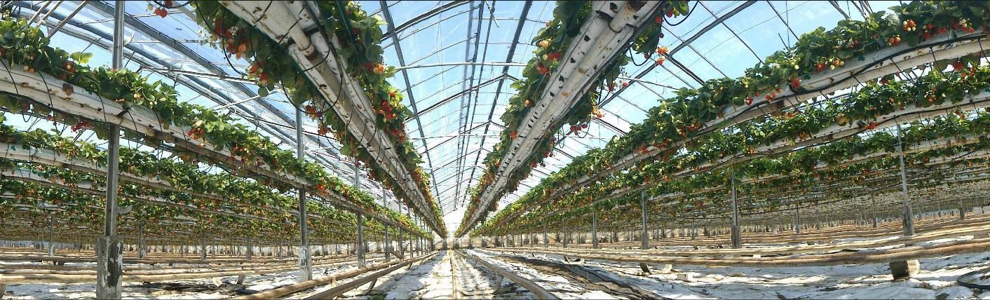 Die Produktion von Erdbeeren in Gewächshäusern